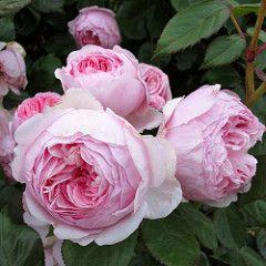 Geoff Hamilton roses