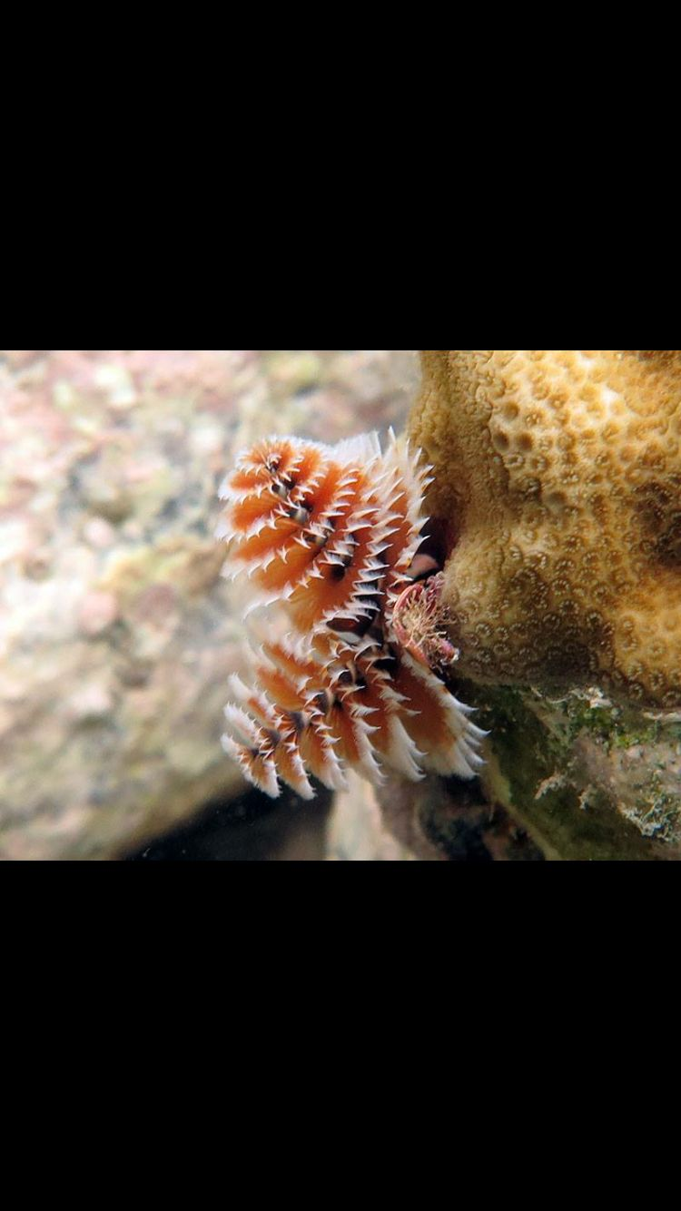 Christmas Tree Worms Fish Pet Under The Sea Pets