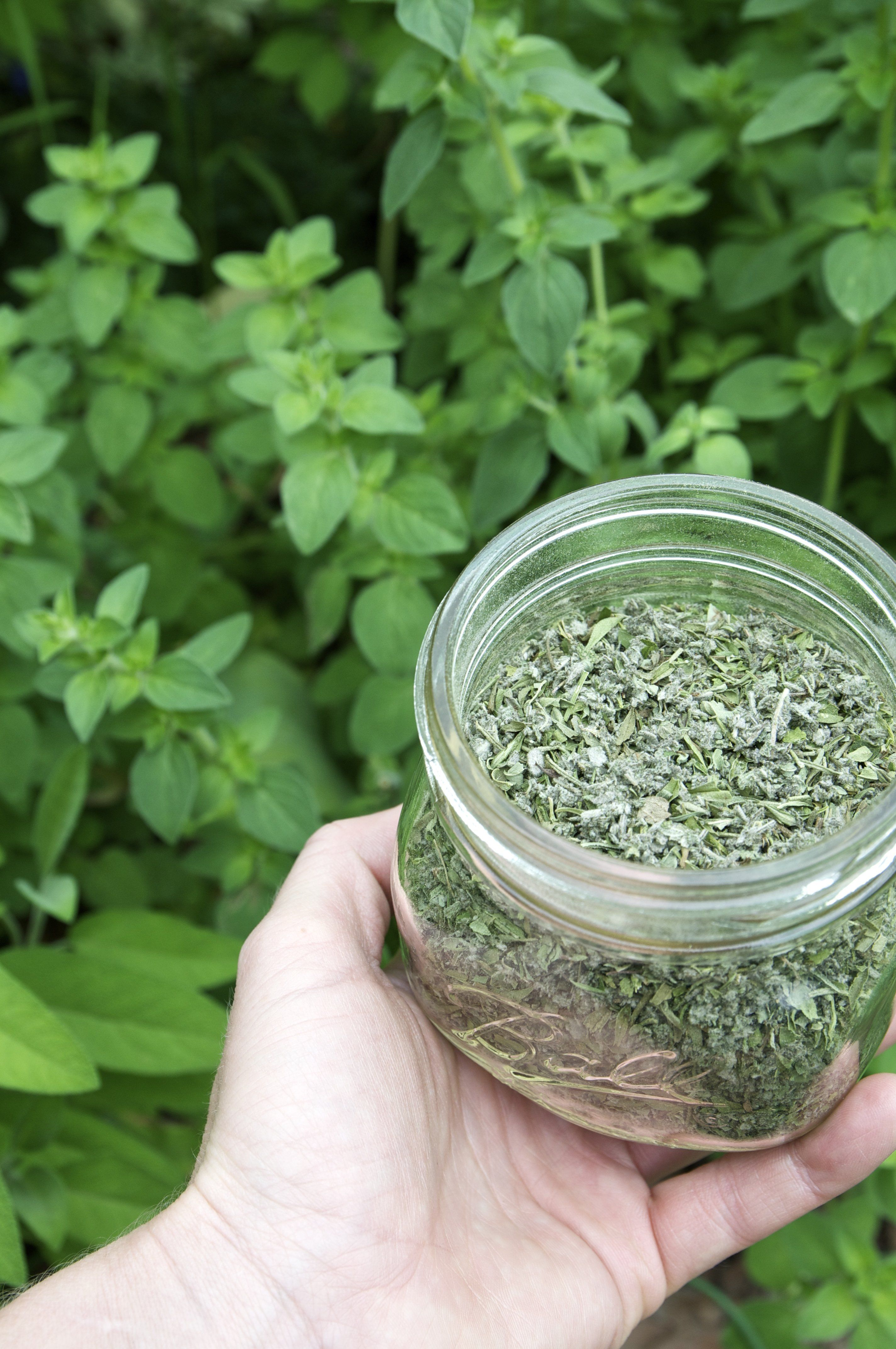 Why Dehydrating Is My Favorite Way to Preserve Oregano — Herb Gardening 101