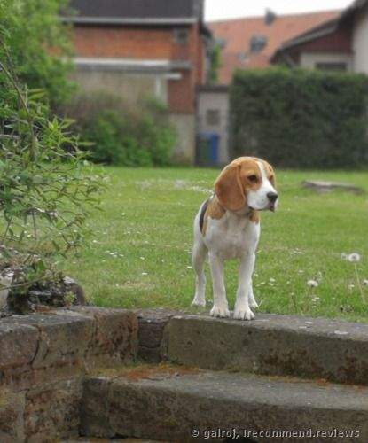 Beagle Review She S Our Friend Yet She Still Marches To Her Own