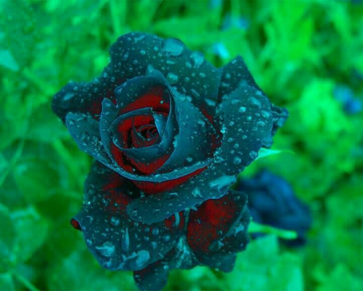 A beautiful blue rose with raindrops and a little red inside it
