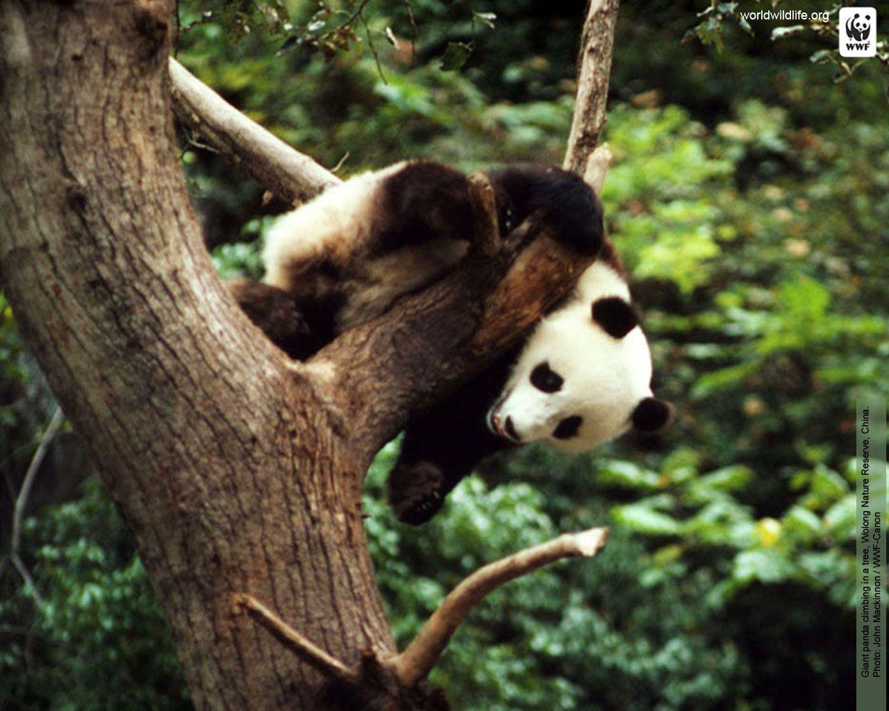 Panda Wallpaper Wwf Panda Panda Wallpapers Panda Bear