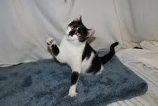 Cat of the Week  Beth is a female domestic shorthair who is about 1.5 years old. She was hit by a car and lost one of her legs but she doesn't miss a beat. Beth is a very loving cat.