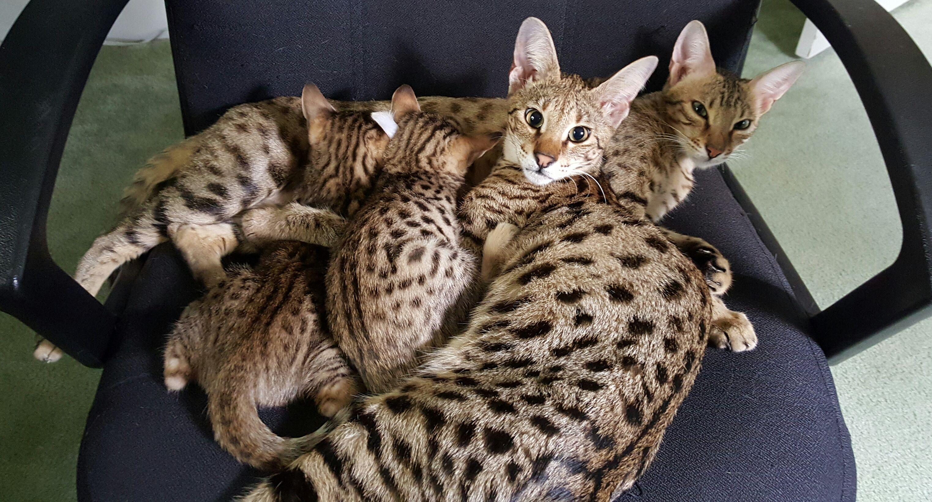 Savannah Cat Breeders Savannah Cats, Bengal Cats For