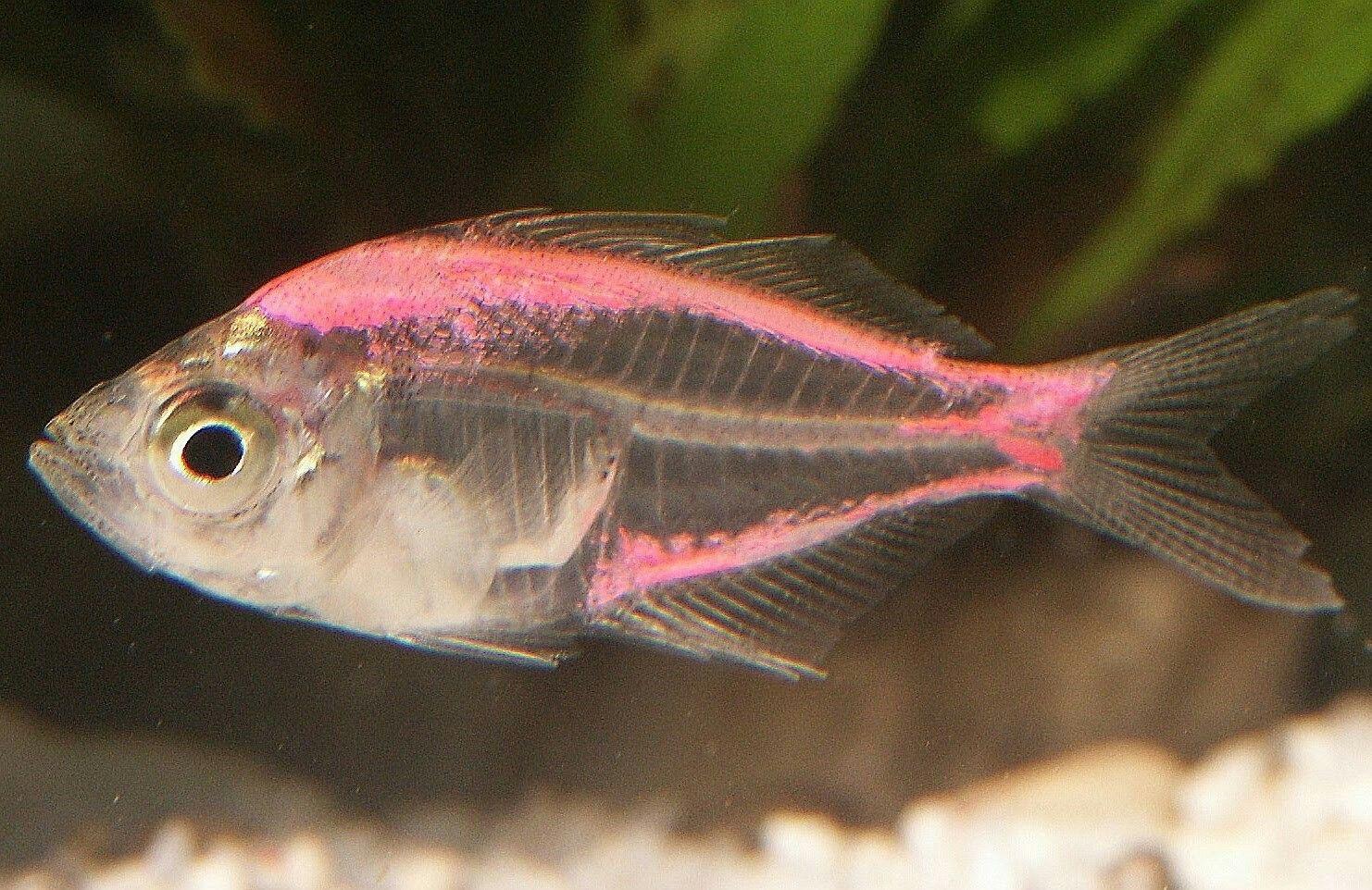 X Ray Tetra Freshwater Aquarium Fish Pink Fish Fish