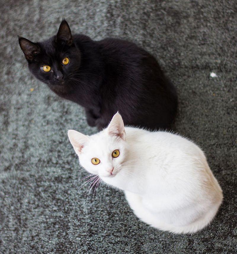 Картинка черная кошка белый кот