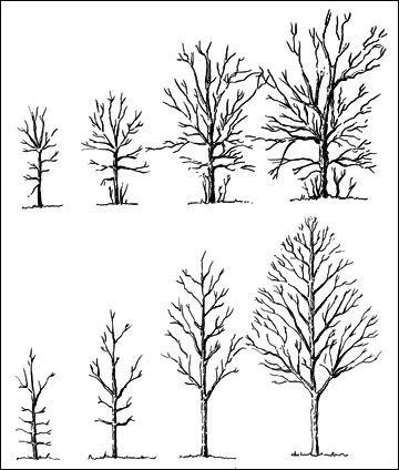 Mg8 Pruning Ornamental Trees And Shrubs Ornamental Trees Ornamental Pear Tree Pruning Apple Trees