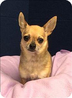 Canton Ga Chihuahua Mix Meet Pearl A Dog For Adoption Http
