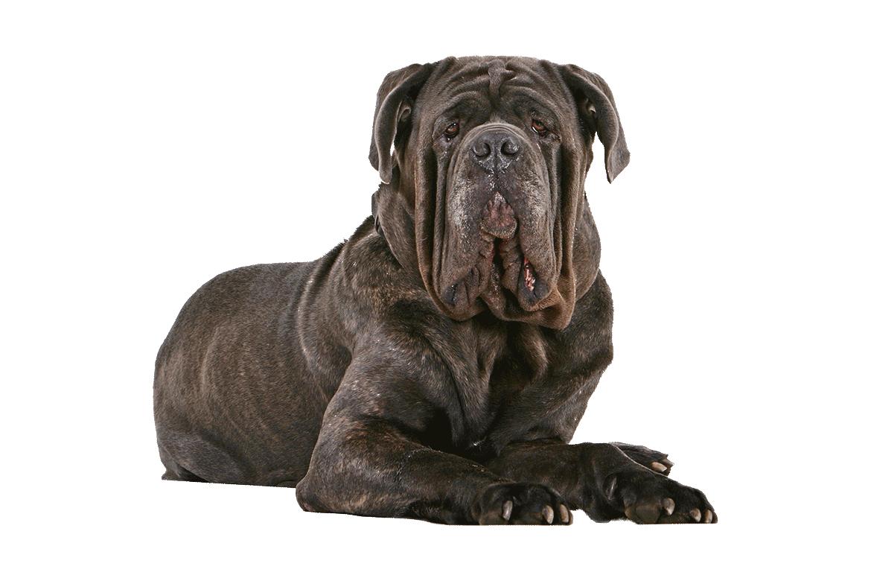 Neapolitan Mastiff Dog Breed Information Italian Dogs Mastiff Dog Breeds Dog Breeds