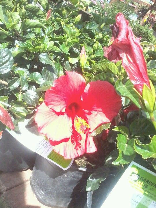Brilliant Hibiscus Flowers