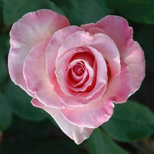 Rózsaszín ében xxx