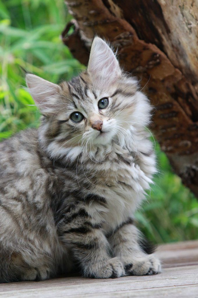 Norwegian Forest Cat Breed Information, Pictures, Characteristics & Facts #catbreeds