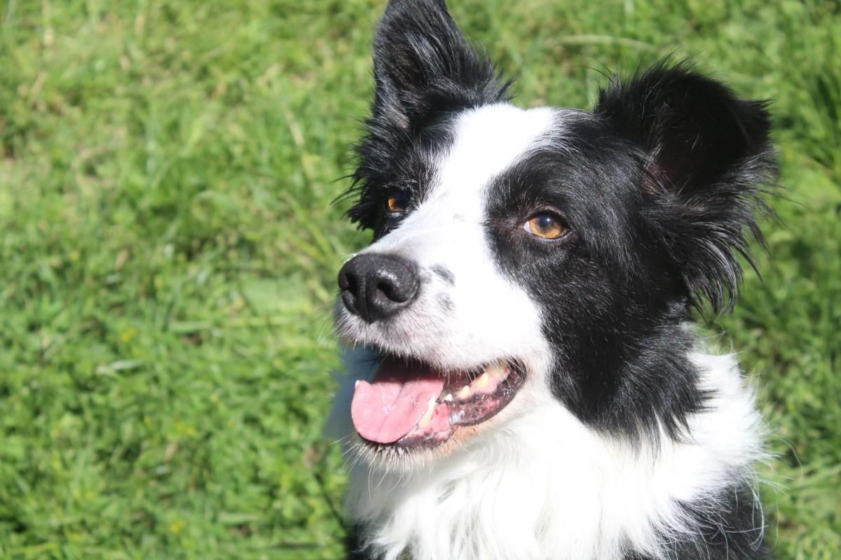 Adopt A Dog Shep Border Collie Dogs Trust Dogs Dog Adoption