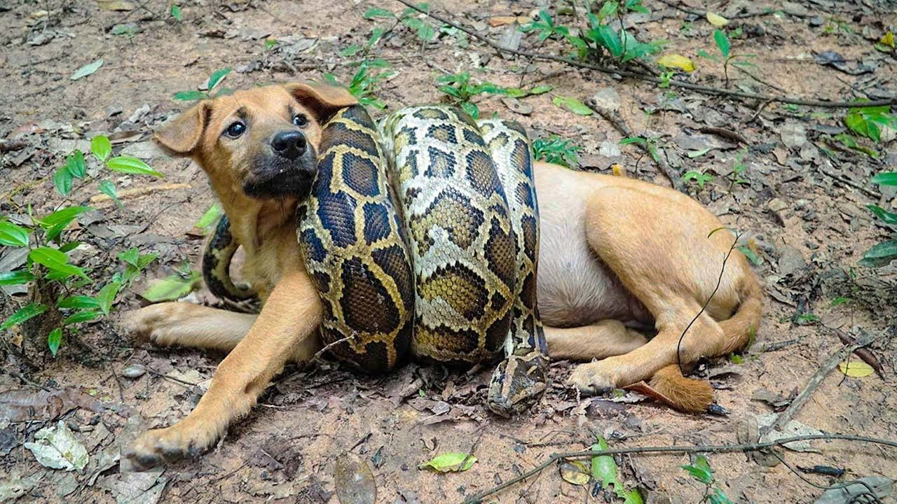 Rescued Dog From Python Snake attack YouTube