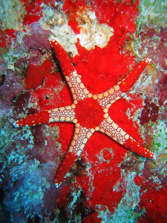 Necklace starfish in the Indian Ocean Water wonders