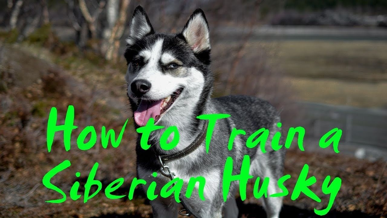 How To Train A Siberian Husky How To Potty Train A Siberian