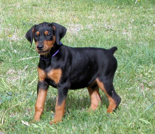 black doberman puppy Dobermans Pinterest Doberman