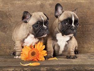 wkwk.. bulldog puppy...