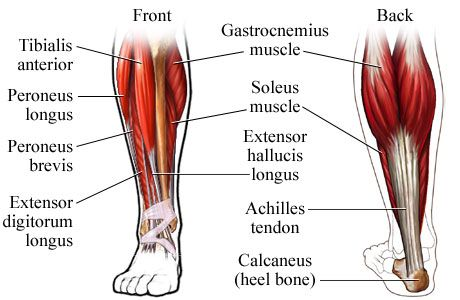 Muscles of the Lower Leg | Getting Fit | Pinterest | Calf muscles ...