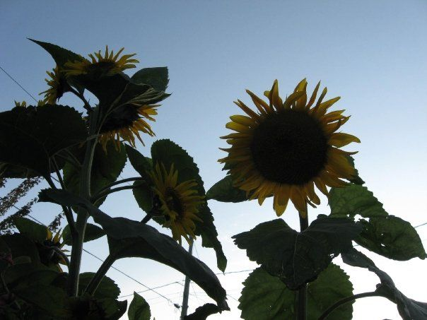 Two sunflowers that grew from fallen bird seed.