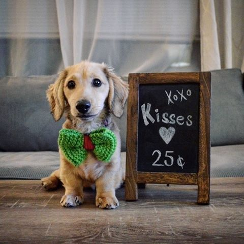 Dazzling Dachshunds American Kennel Club Pets Dachshund Dogs