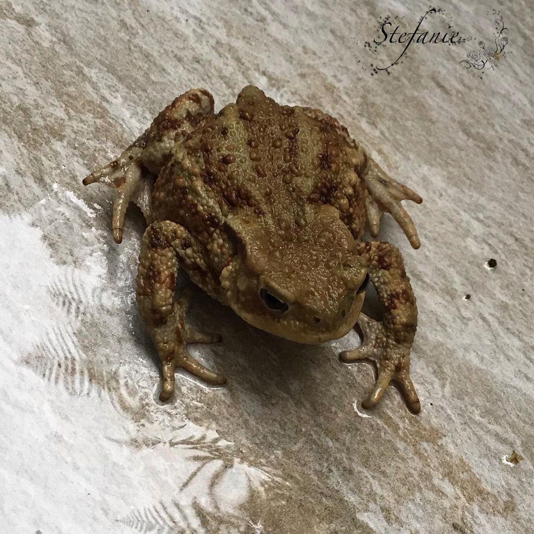 Endlich Regen Und Schon Ist Ein Kleiner Besucher Da Garten Natur Krote Kroten Gartenliebe Amphibien Gartenliebe Amphibien Tiere
