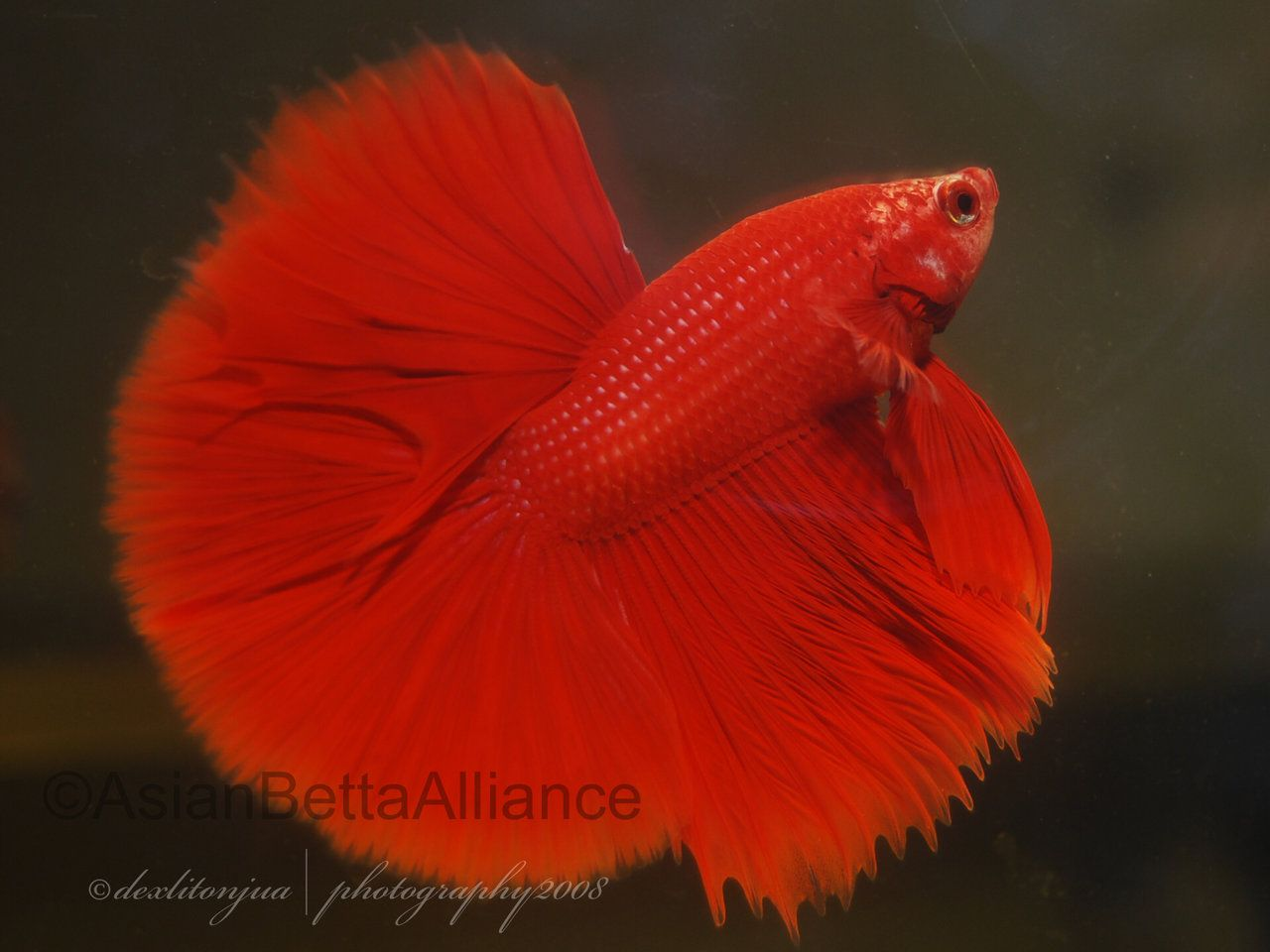 red halfmoon betta | The Simese Fighting Fish (bettas) | Pinterest ...