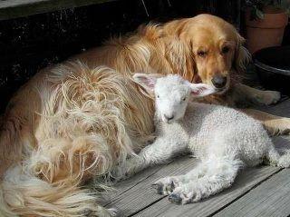 Golder Retriever With Lamb So Sweet Animals Friendship Animals Friends Animals