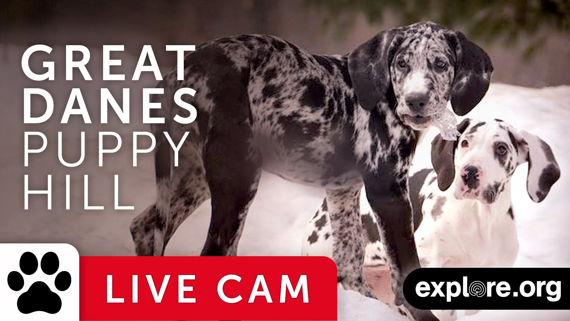 Great Danes Puppy Hill - Service Dog Project powered by EXPLORE.org