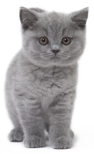 British Shorthair Kitten In 2020 British Shorthair Kittens American Shorthair Cat Kittens Cutest