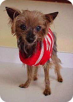 Dahlgren, VA - Yorkie, Yorkshire Terrier. Meet Edgar - 3 1/2 lbs, a dog for adoption. http://www.adoptapet.com/pet/11670309-dahlgren-virginia-yorkie-yorkshire-terrier