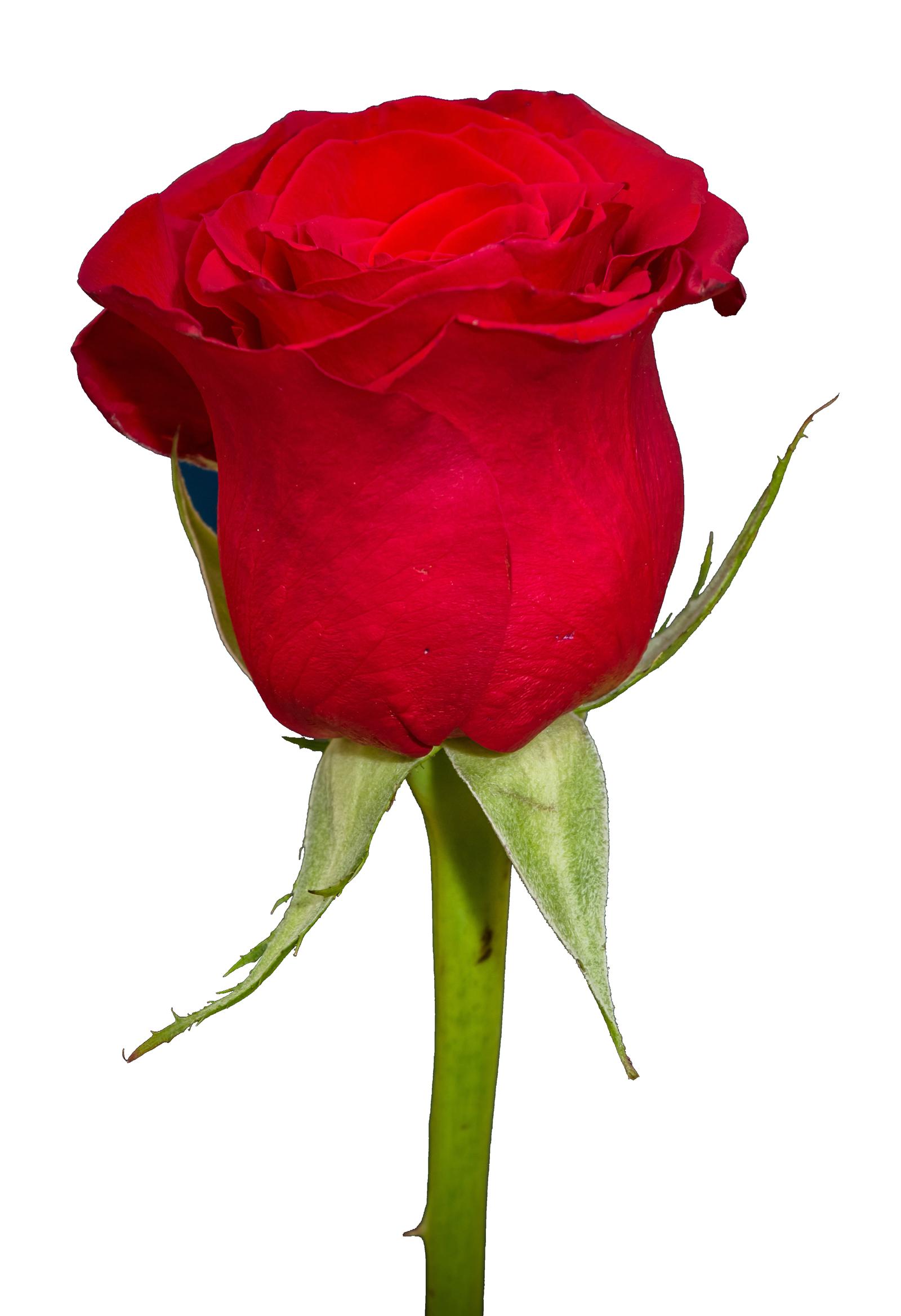 Rose Png Image Rose Flower Png Flower Png Images Flower Images