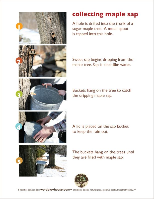 How To Collect Maple Sap By Wordplayhouse Its A Lot Of Work