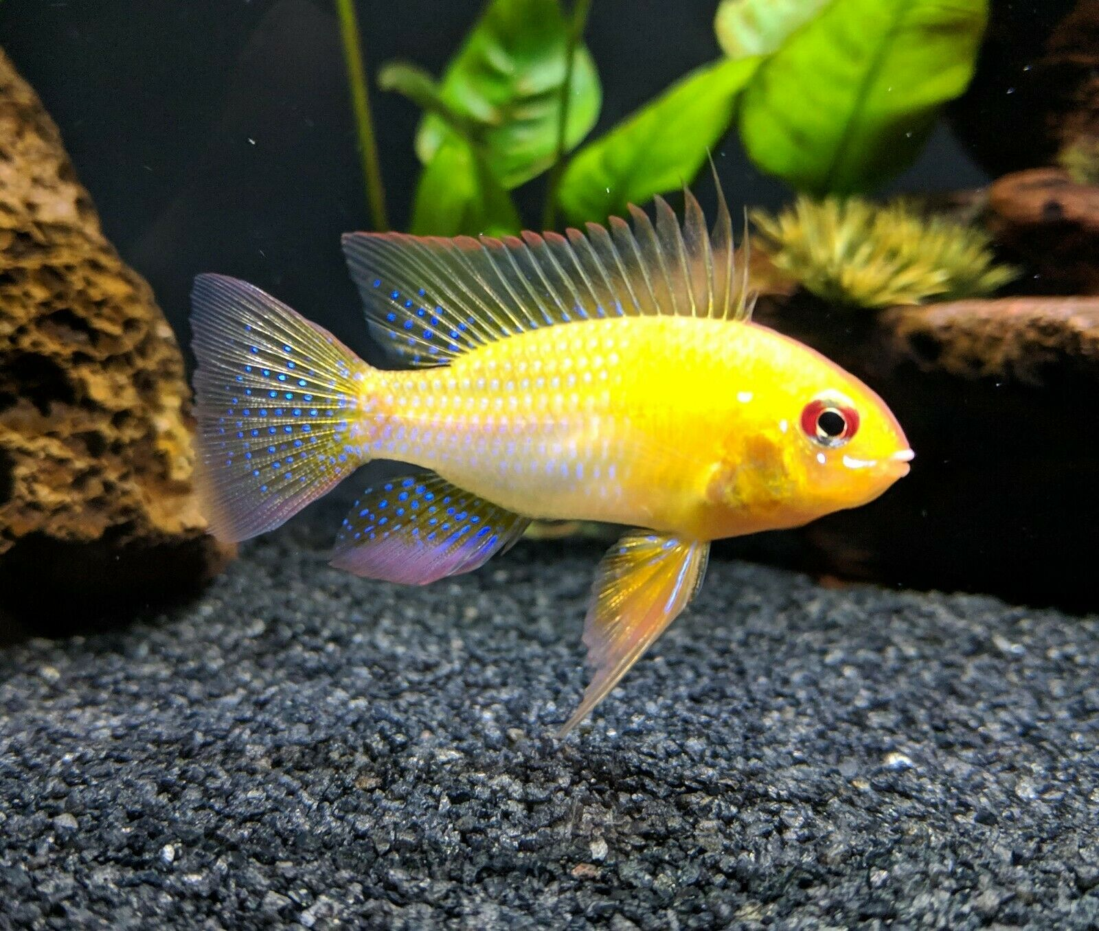Gold Ram Cichlid 16 00 Expedited Shipping Cichlids Aquarium Fish Live Aquarium Fish