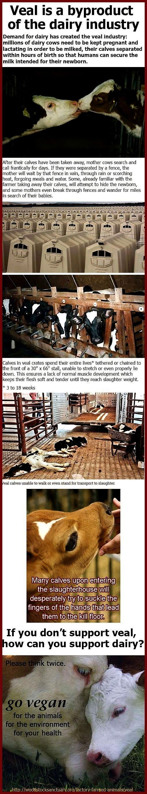 is no veal industry without the dairy industry  click for more facts  also see Mother Cow Hides New