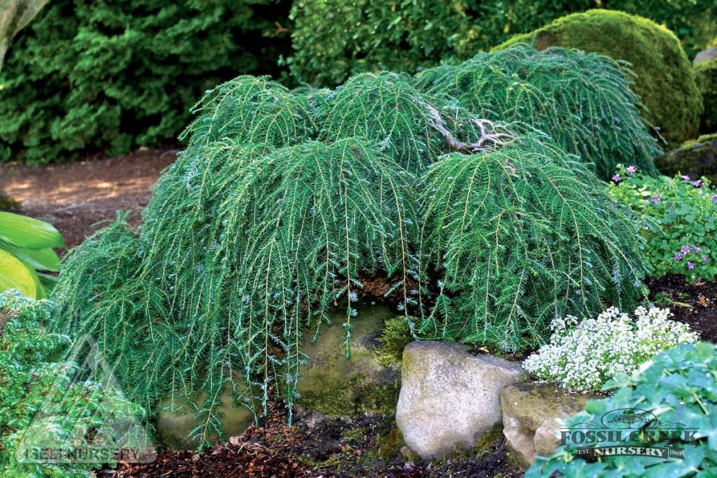 Cole's Spreading Hemlock,   A dwarf, pendulous form with stiffly weeping main branches. Makes a truly prostrate growing plant that is great for rock gardens. Needs filtered shade and rich, moist soil.