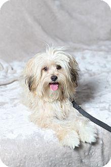 Beverly Hills Ca Havanese Poodle Miniature Mix Meet Christie Brinkley A Dog For Adoption Dog Adoption Havanese Dogs