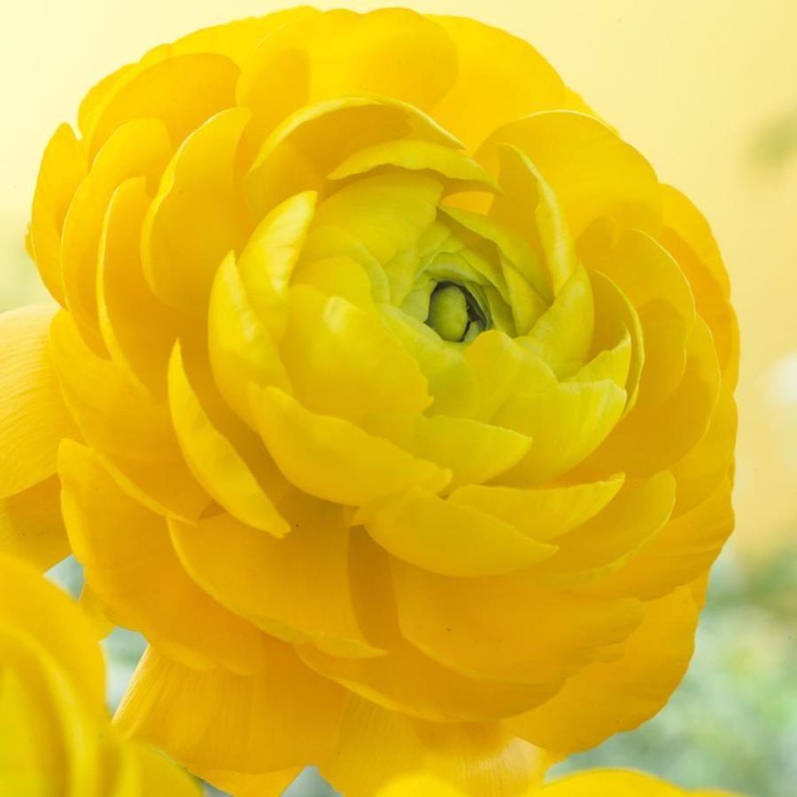 25 Count Ranunculus Bulbs Lowes Com In 2020 Bulb Flowers Buttercup Flower Ranunculus