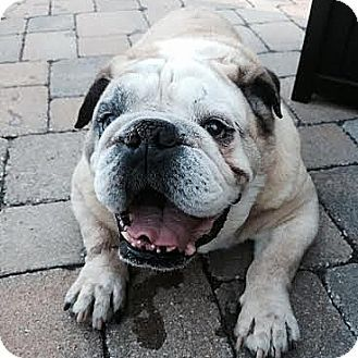 Waterloo Il English Bulldog Meet Handsome A Dog For Adoption