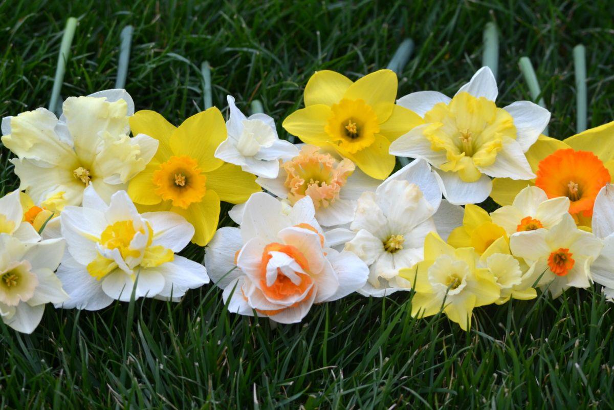 Pin by hog lot flowers at davis farm on daffodils pinterest