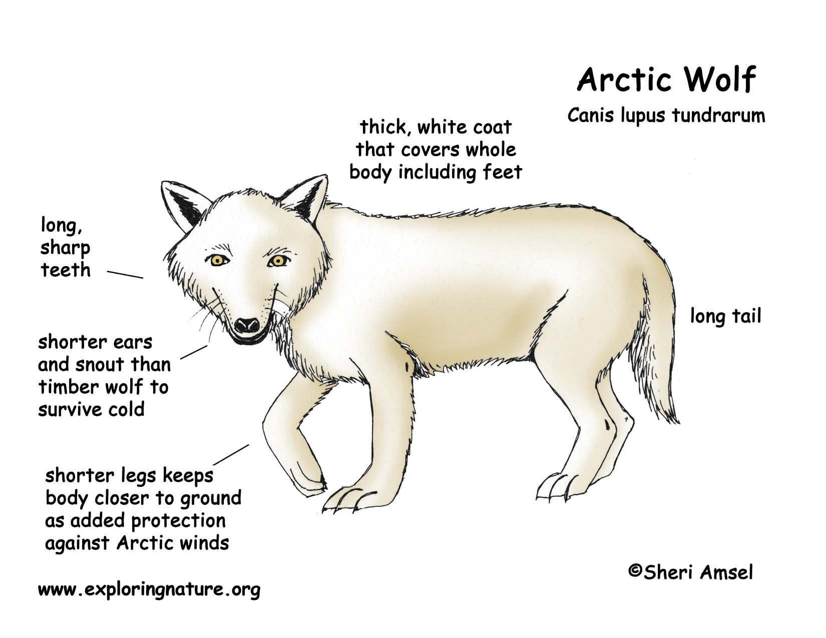 79d7073721e205c3c70f757eec040707 body diagram of polar bears download hi res color diagram second