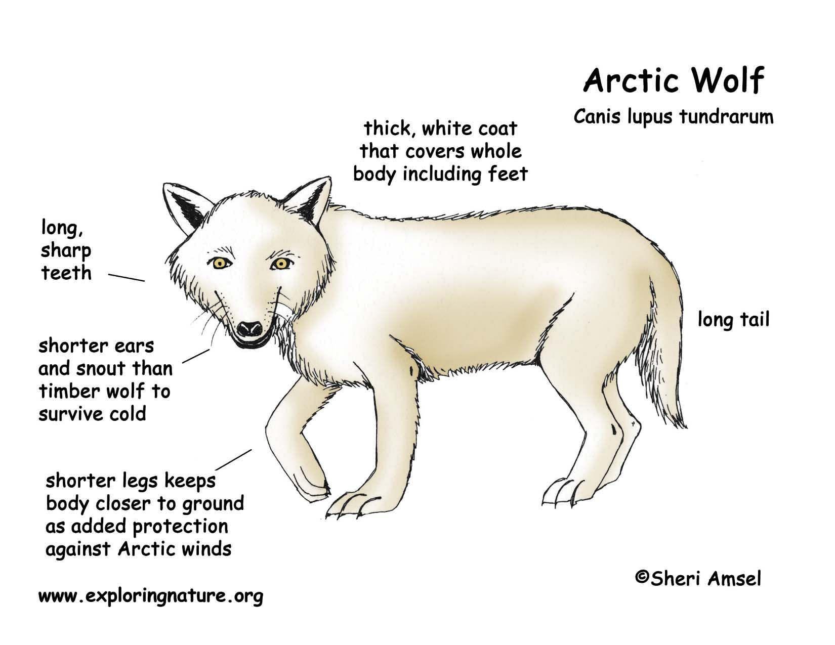 Body Diagram Of Polar Bears