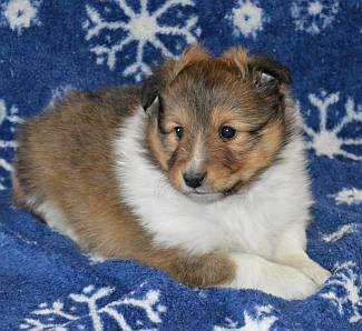 Shetland Sheepdog Puppies Ny Sheltie Puppies For Sale Ny Shetland Sheepdog Sheep Dog Puppy Sheltie Puppies For Sale