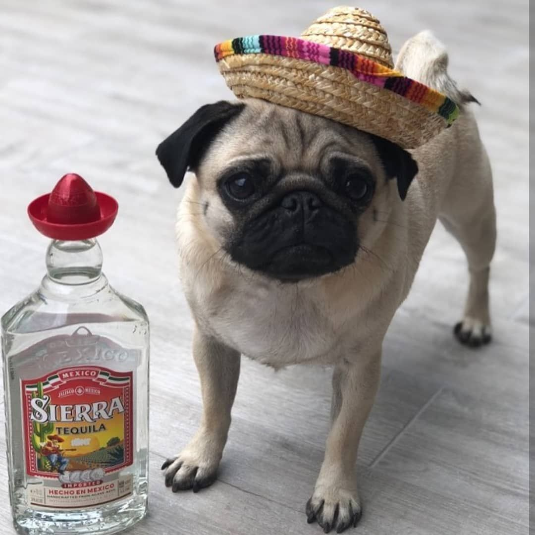 Little Lil Pug Dog Sombrero Fancy Dress Mexican Costume Party Hat