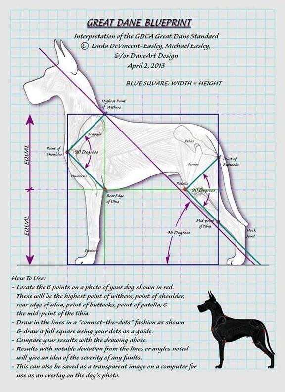 Great Dane Conformation Google Search Great Dane Dogs Dane
