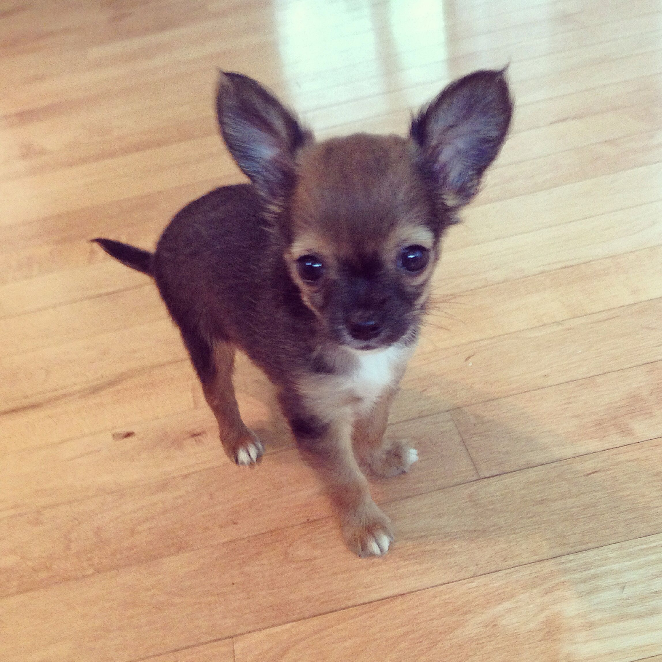 Honey Bee My Long Haired Chihuahua Puppy 8 Weeks Old And Cute As A