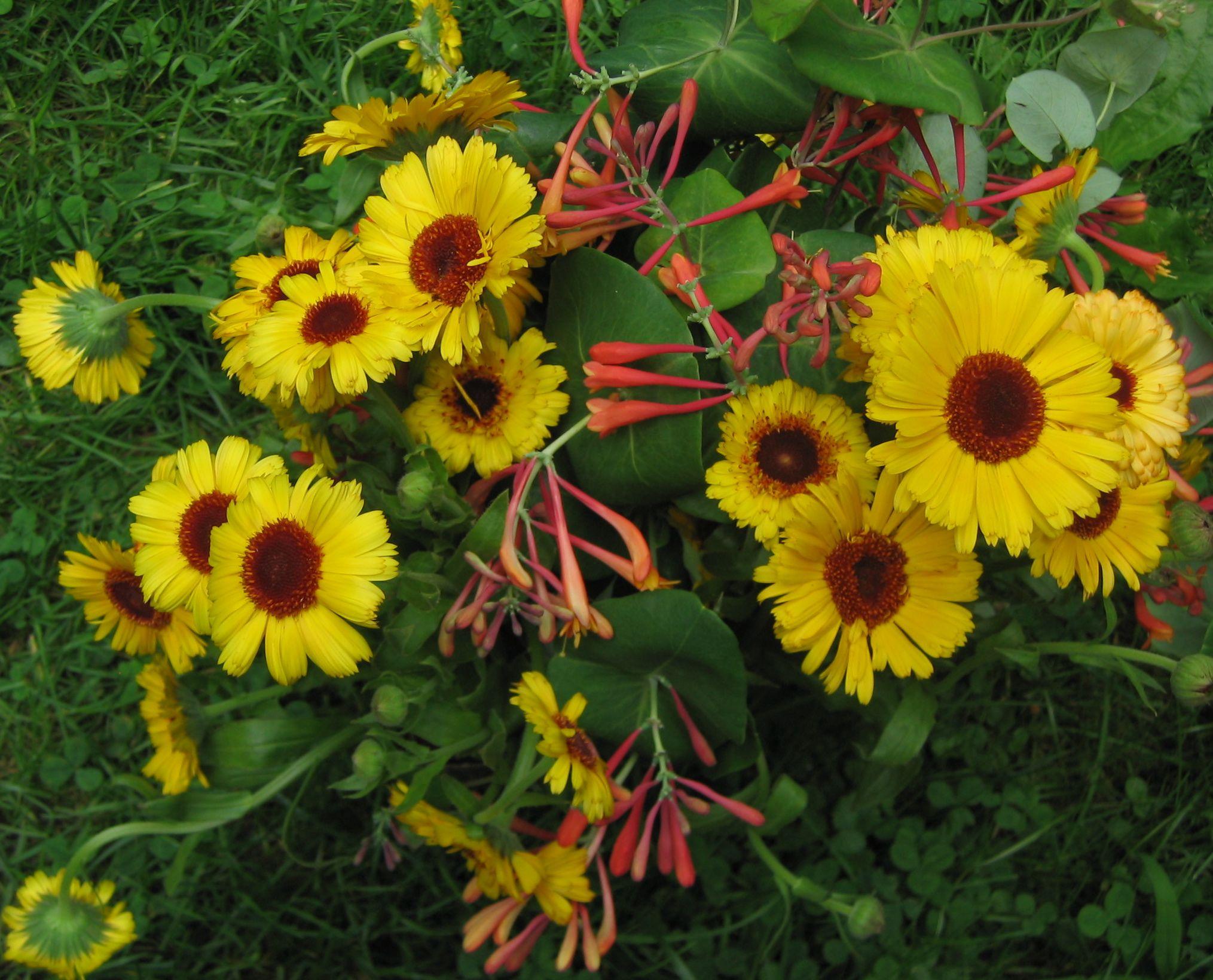 calendula Calendula, Flowers, Plants