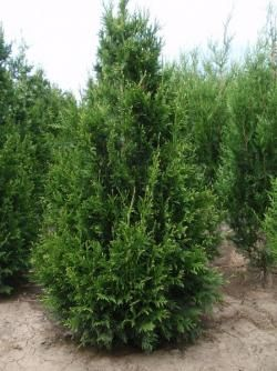 ´Can-Can´ Thuja plicata - rather than Emerald Green for spaced  hedge.