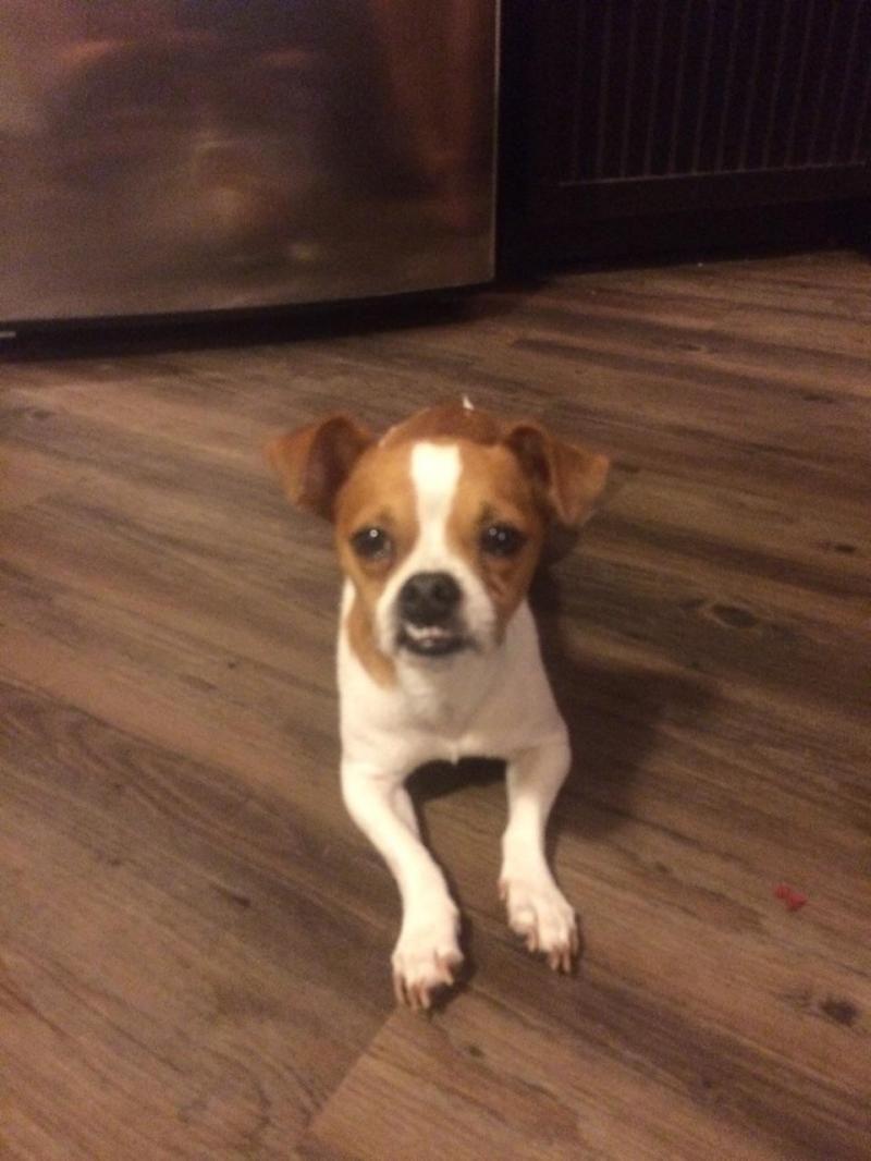 Adopt Cobby On Pugs For Adoption Adoptable Beagle Chihuahuas