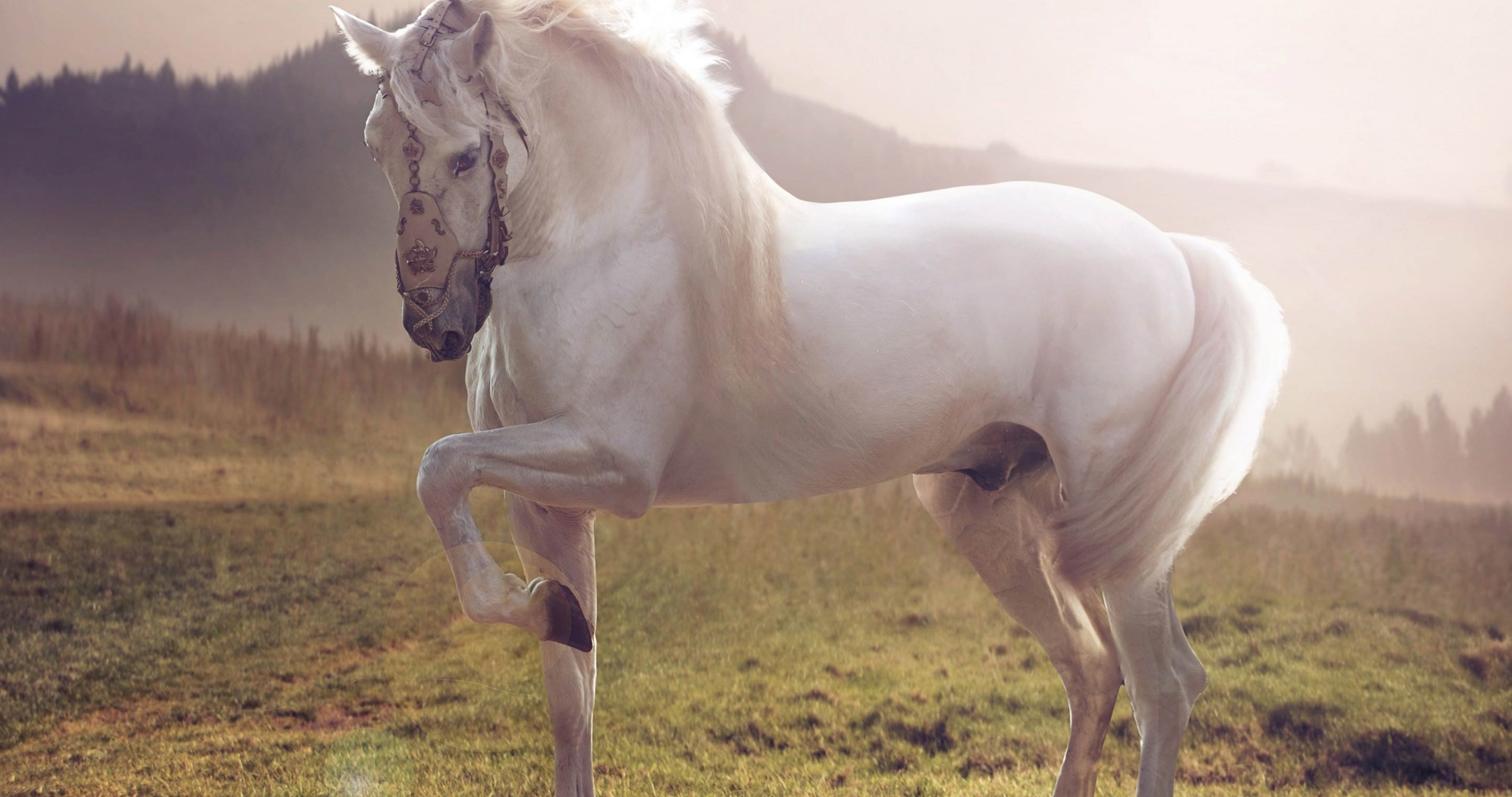 White Stallion 4k Ultra Hd Wallpaper Horses White Arabian Horse Majestic White Horse